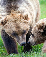 Sow and Mature Cub (capt.)